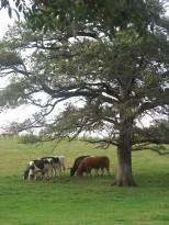 Vaches laitières Holstein et taureau Limousin
